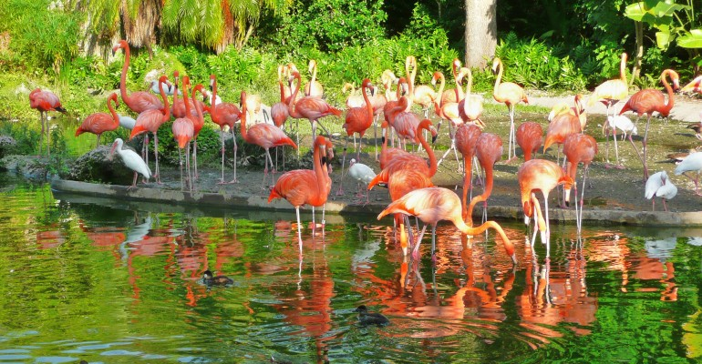 Zoo-Miami-Flamingoes